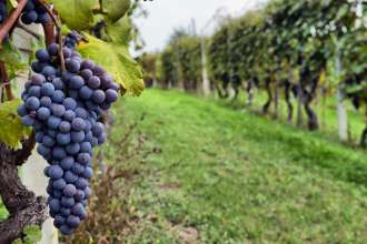 vineyard-grapes-home-slideshow